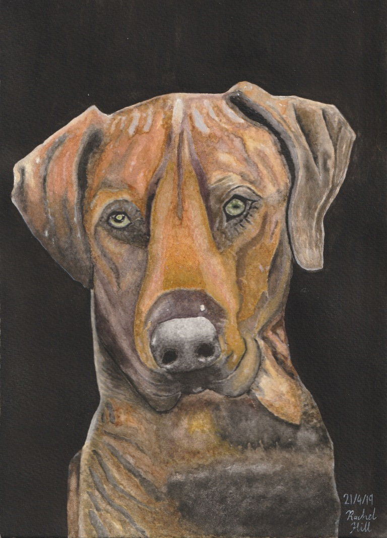 Watercolour painting of a Rhodesian ridgeback by Irish artist Rachel Hill